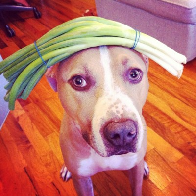 ellethedog:  yah guys, I can do onions, please give me something more challenging?  triciawang:  #stuffonelleshead onion! This seems way to easy, let's move up to two stalks tomorrow. #ellethedog (Taken with Instagram)   WHAT IS HAPPENING TO MY DOG WHILE I AM AWAY!?!