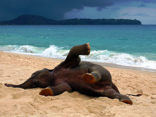 haleyfood:  Elephant in Phuket, Thailand playing on the beach. So cute!! By John Lindie