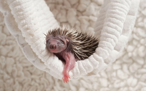 theanimalblog:  An abandoned baby hedgehog - or hoglet - sleeps at the Folly Wildlife Rescue near Tunbridge Wells in Kent. Still blind and deaf, four-day-old triplets would have stood no chance in the wet and wild weather. This sodden summer could spell doom for the humble hedgehog as their numbers have already drastically fallen. The wet summer spells disaster for their underground burrows. Hedgehogs are poor swimmers and if they fall into fast flowing water they can't escape. Picture: Phil Yeomans/BNPS