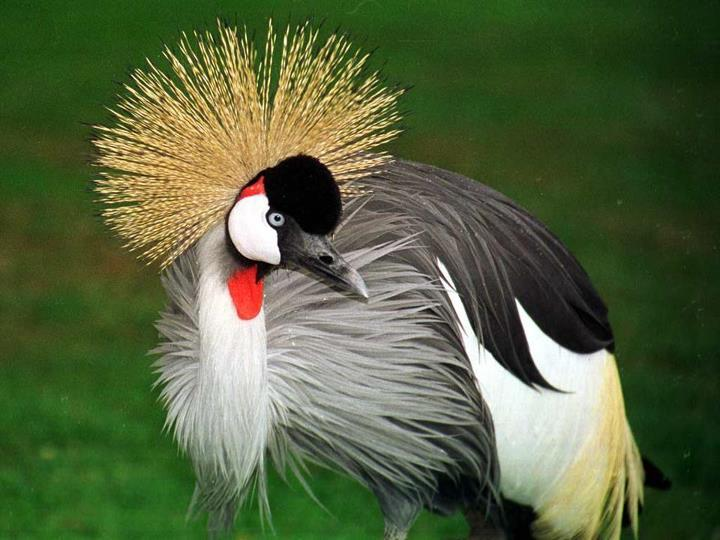 rhamphotheca:  Grey Crowned Crane (Balearica regulorum), Nanyuki, Kenya  This species occurs in dry savannah in Africa south of the Sahara, although it nests in somewhat wetter habitats. It is non-migratory. The Grey Crowned Crane is about 1 m (3.3 ft) tall and weighs 3.5 kg (7.7 lbs). The sexes are similar, although males tend to be slightly larger. Like all cranes, it feeds on insects and other invertebrates, reptiles, small mammals, as well as grass seeds. The cranes of this genus are the only capable of roosting in trees, because of the structure of the feet… (read more: Wikipedia)       (photo: David Bygott)