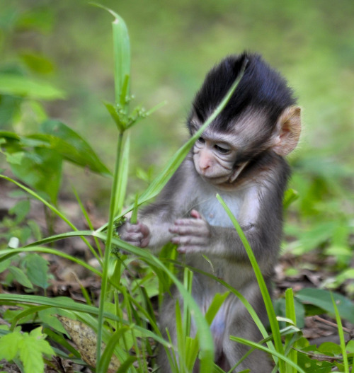 Little Monkey outside of Angkor Wat Complex, Siem Reap (by HK Buckeye)