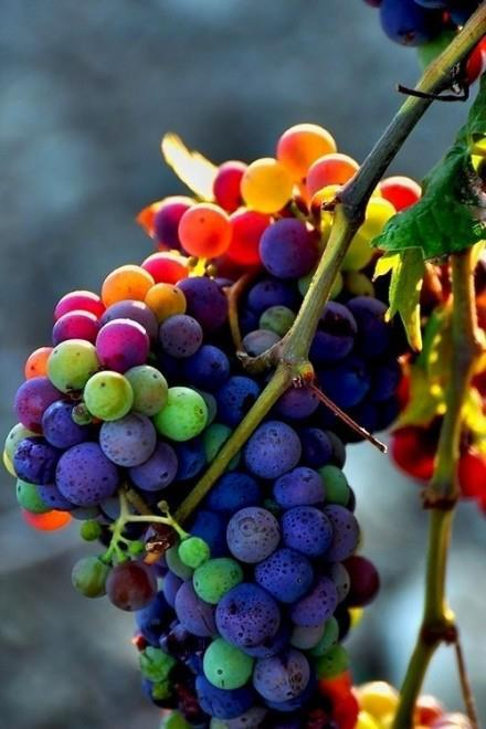 t-r-o-p-i-c-air:  animalgazing:  What beautiful grapes Photographer unknown  inspirational