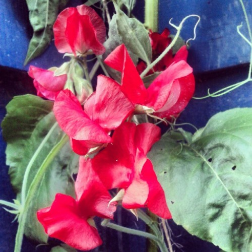 red sweet peas in bloom in my garden