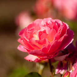 rose in the sun by raspberrytart on Flickr.