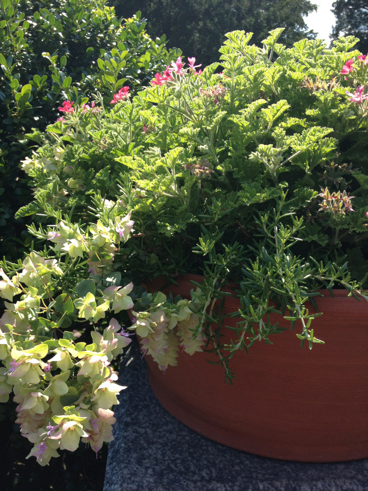 Great idea for a container combo from the Herb Garden: filbert-scented geranium, prostrate rosemary, and oregano. Pretty and practical! -AR