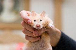 animals-animals-animals:  The Helpless Hamster (by JesseBarker)
