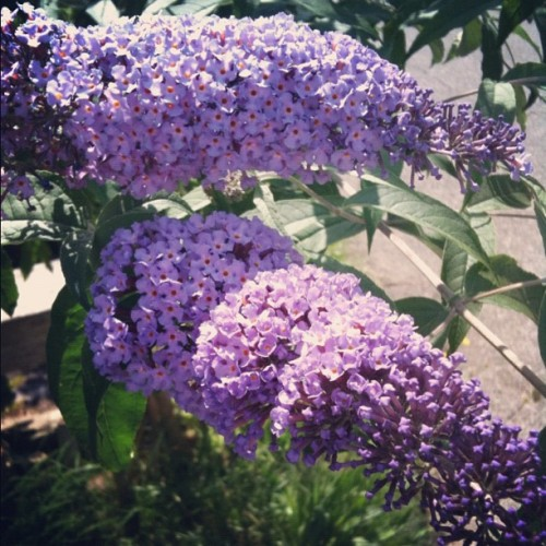 A neighbor's Buddleja — I know it's an invasive, but I do love that sweet smell! #flower #garden  (Taken with Instagram)