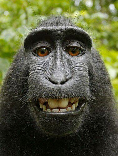 veganjesus:  clanarmstrong:  Self Portrait This crested black macaque took his own picture when the photographer stepped away from his camera. Rare and critically endangered, they're being studied in Indonesia.  ~ Photo: David Slater submitted by Sun Gazing  :') So fucking cute