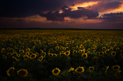 """Sunflower Sunset"" - Cristi Jora"