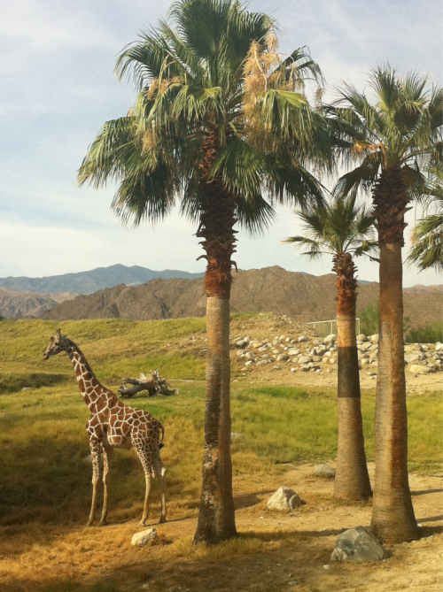 Giraffe at the Living Desert and Botanical Gardens. Palm Desert, California.