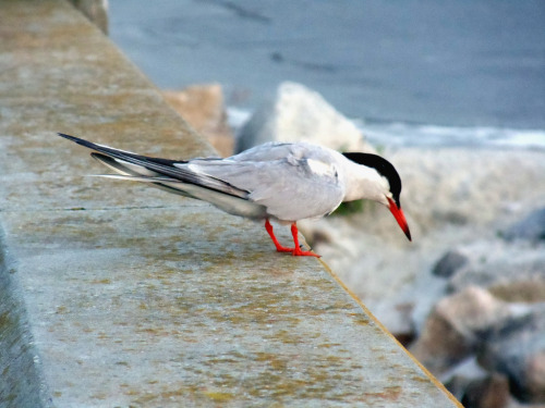Another Tern (by Steve Bosselman)