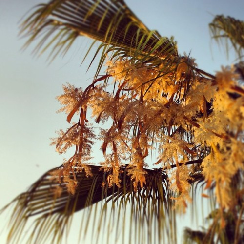 Palms are flowering causing a big mess! (Taken with Instagram)