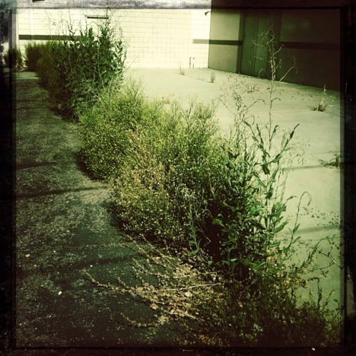 Sights of Summer: Weeds #Cano Cafenol#MakeBeautiful #Hipstamatic #instagram #iphoneography #photooftheday #CapioLumen #hipstachallenge #iphone #ig #iphoneonly #iphone4 #igers #instamood #instagramhub #tweegram #bestoftheday #picoftheday #igdaily #instadail #webstagram #instagramers #statigram #iphonography #iphonegraphy #streetphotography  (Taken with Instagram)