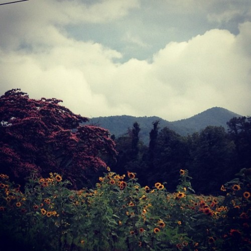 #Sunflowers #MimosaTree #mountains & #sky #insta love days like today (Taken with Instagram at The 10 Acre Farm)