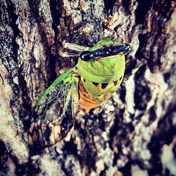 #cicada #bug #2012 #july #summer #rikfoto #tree #cool (Taken with Instagram)