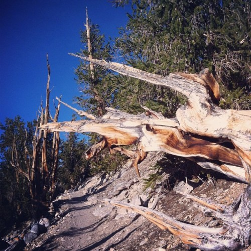 #Methuselah #trail #hiking #ancient #bristlecone #pineforest #hwy395 #california #eddyizm #whitemountains  (Taken with Instagram)