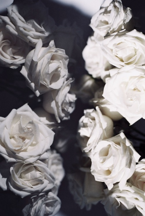 I love white roses.  c0caino:  by fieldguided