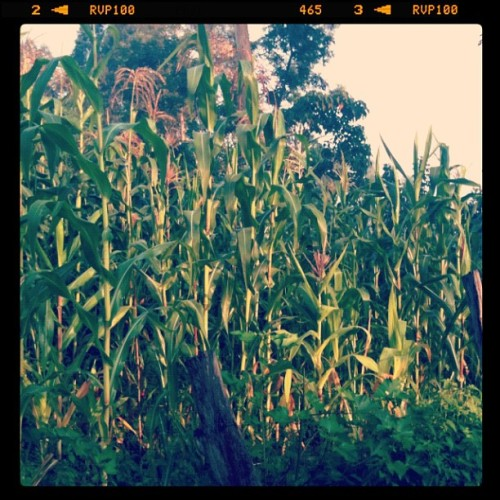 Full grown cornfields are everywhere! I suppose they have been for a couple weeks…  (Taken with Instagram)