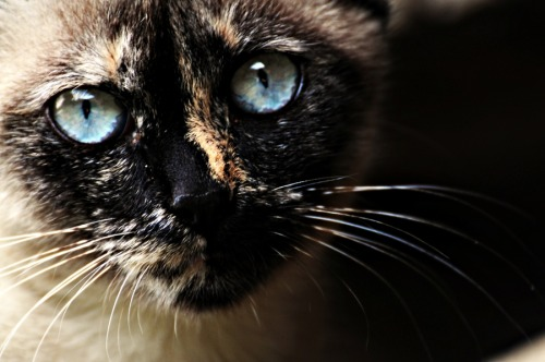 photogenicfelines:  (Sanchez JMC)  Holy shit this is a beautiful cat! Amazing fur colour and it has oceans for eyes.