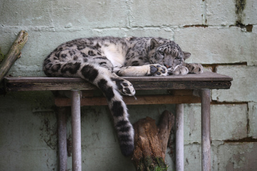 tigersandcompany:  Snow leopard (by XsGerry)