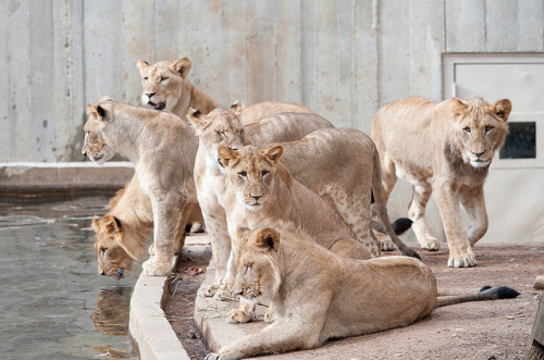tigersandcompany:  Lion pride (by Smithsonian's National Zoo)