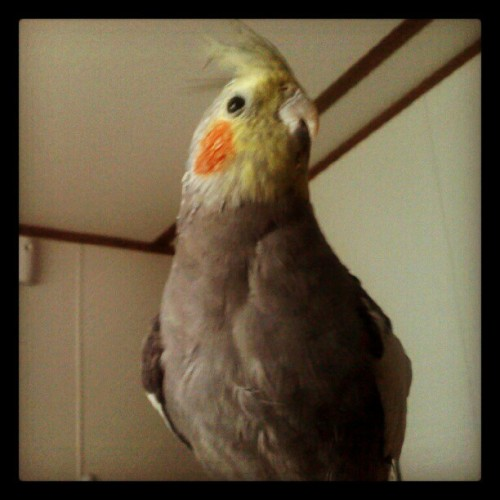 He missed me. :) #cockatiel #birds #pets #animals  (Taken with Instagram)