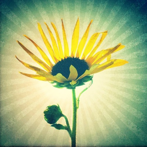#sun #flower #sunflower #nature #summer #sky #shine #xpro #snapseed #hipstamatic #adler9009 #dylan #lens #film #editing #iphoneonly #instagood #cute #picoftheday #all_shots #swag #beautiful #hot (Scattata con Instagram presso Valle del Tevere)