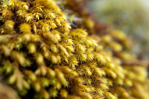 This moss is a member of the Hedwigiaceae family! It has about six genera, such as Hedwigia and Hedwigium.