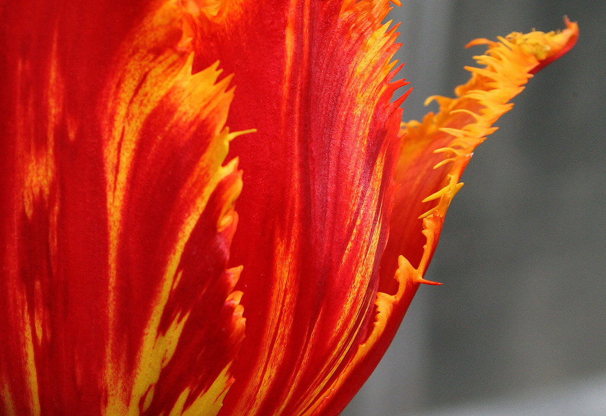 A tulip with a streaked color pattern like this is referred to as a broken tulip. This type of coloring was highly prized when tulips first came to Europe, around 1500. It is actually caused by a virus, the tulip breaking virus, similar to the tobacco mosaic virus. Horticulturists tried all kinds of things to obtain these patterns, such as cutting bulbs in half and grafting mix-matched pieces together, or soaking bulbs in wine before planting them.