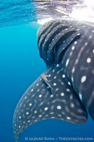 earthlynation:  Whale Shark by TheLivingSea