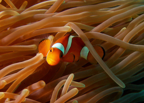 earthlynation:  Clownfish by Christian Loader