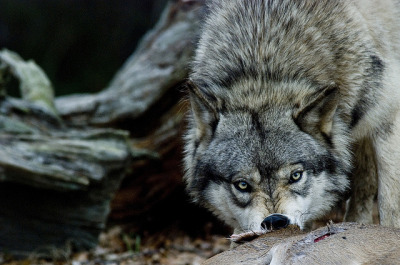 whispers-of-the-wild:  Wolf Feeding Photo by: LoriLabrecque