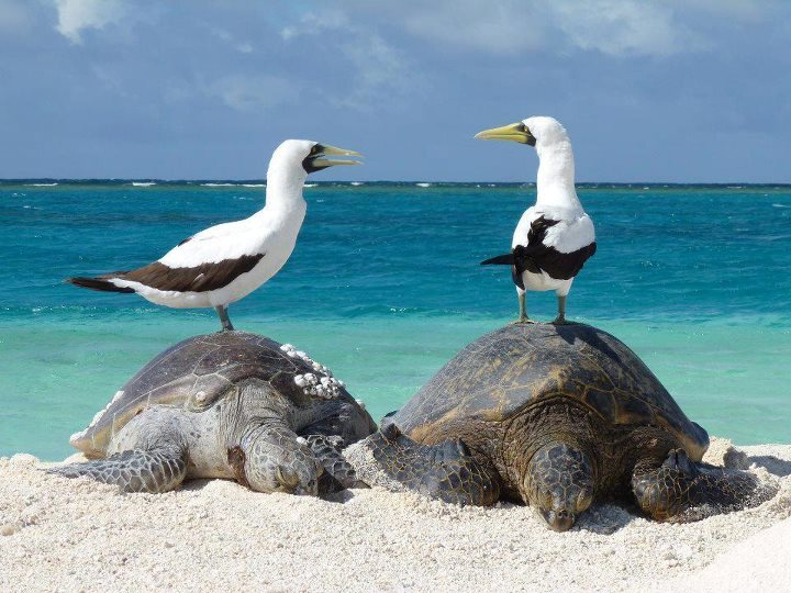 rhamphotheca:  Green Sea Turtles (Chelonia mydas) and Masked Boobies (Sula dactylatra), Papahānaumokuākea Marine National Monument, Hawaii (photo: Mark Sully, Hawaiian Monk Seal Research Program) (via: USFWS National Wildlife Refuge System)