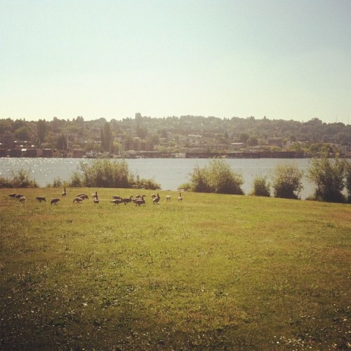 A gander of geese at Gasworks.  (Taken with Instagram)
