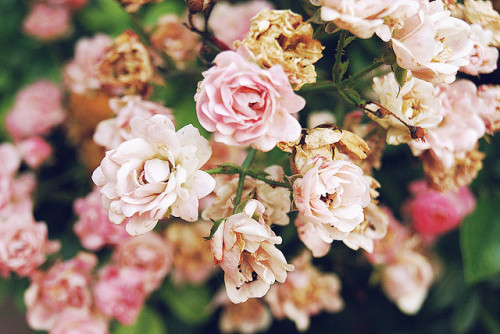 nudeblogger:  roses by skyillusion on Flickr.