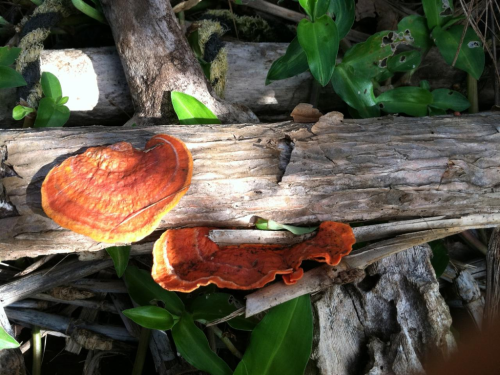 Orange polypore sent to me by my sister in law