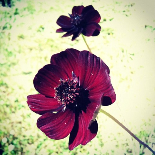 My Chocolate Cosmos is blooming — smells so chocolatey!! #flower #garden #summer (Taken with Instagram)
