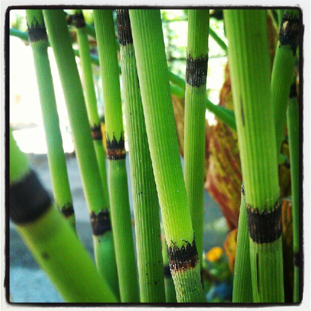 Horsetail, Obatala's Ewe (Taken with Instagram)