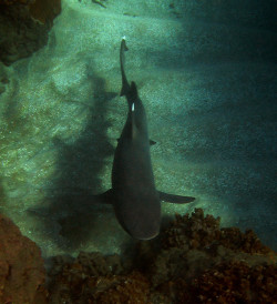 theoceaniswonderful:  white tip reef shark by bluewavechris