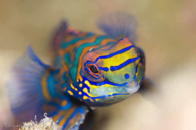 earthlynation:  Mandarinfish by Christian Loader