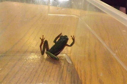 I found this green tree frog on someone's car window at the grocery store. I figured he (or she) wouldn't do so well in a large parking lot, in this heat, so I looked for my bug jar. I couldn't find the car bug jar fast enough so I emptied a plastic shoe box (I still need to get those shoes repaired) and caught the frog in there. I took him (or her) to the nature preserve when I picked Finn up from her camp and the director was thrilled to have the donation.