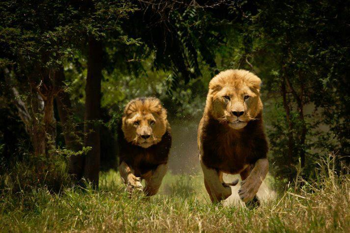 funnywildlife:  King of Kings!!