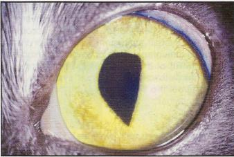 vetstudent-microbiologymaniac:  Reverse D-shaped pupil in a cat, indicating damage to the nasal ciliary nerve of the left eye. Cats presenting with ciliary nerve damage should be investigated for FeLV, as well as other viral agents and lymphoma. (BSAVA Manual of Canine and Feline Neurology)