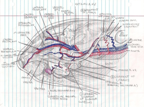 veterinaryrambles:  The abdominal and pelvic cavities.  This was quite a challenge to draw, though it ended up being rather fun.  It's a good review for if you are going to do a spay, as it helps remind you of what's going on in there under that pile of omentum and intestines that inevitably gets in your way.  I wish i was the neat!