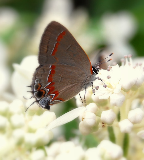 fatchance: Flutterbyes: Gray hairstreak butterfly (Strymon melinus), Portsmouth, Virginia, USA. Click photo for an enlarged view