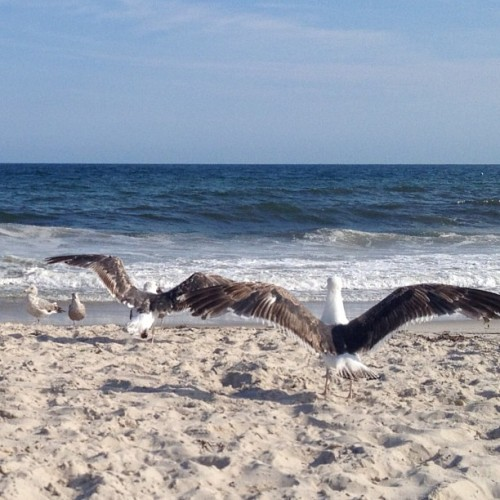 Insanely large #seagulls at the #beach today. I swear they were bigger than a cat!! #nofilter #Ocean #beach #sand #surf #sun #birds #scenery  (Taken with Instagram at Jones Beach - Field 2)
