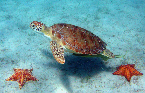 Stunningly beautiful Sea Turtle and Starfish