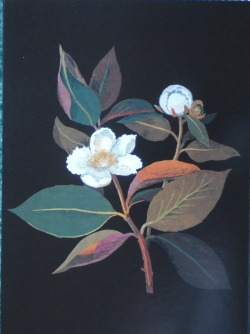 Mary Delany. Stewartia malacidendron.