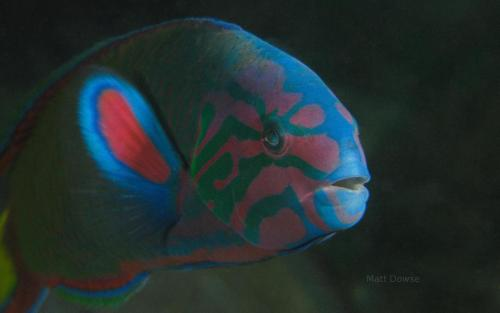 life-science:  Moon wrasse (Thalassoma lunare) These vibrantly colored fish live in shallow (1-20m) areas of coral reefs. This carnivorous fish has an adaptation known as sequential hermaphroditism, in which they all start as female and change sex to male later in life. Photo credit: Matt Dowse via www.naturepicoftheday.com Learn more:Chromosomal studies of three vulnerable marine fishes from west coast of India Oceanic Sharks Clean at Coastal Seamount