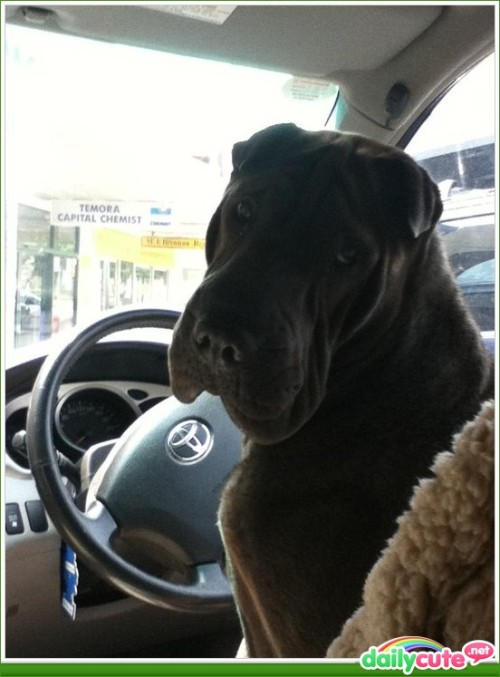 Driving Dog http://bit.ly/N1n2mf